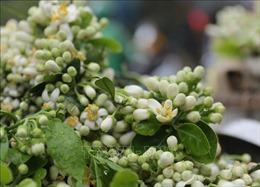 Hà Nội ngát hương mùa hoa bưởi