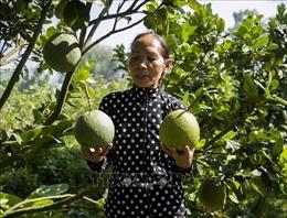 Người phụ nữ Khmer khởi nghiệp thành công từ quả bưởi da xanh