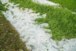 Mưa đá gây thiệt hại cho nông nghiệp ở Bắc và Trung Bộ