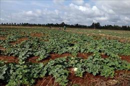 Hiệu quả mô hình trồng dưa lê trên nền đất lúa mùa khô hạn