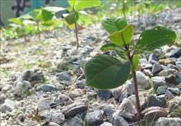 Những mầm xanh trên đảo Trường Sa