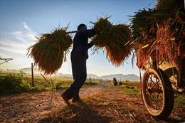 Những khoảnh khắc thanh bình vào mùa gặt ở Hoà Bình