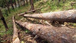 Lâm Đồng: Xử lý nghiêm các vụ vi phạm quy định về quản lý bảo vệ rừng