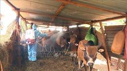 Gia Lai cơ bản đã khống chế dịch viêm da nổi cục trên đàn gia súc