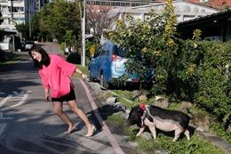 Năm Hợi, giới trẻ Đài Loan đua nhau nuôi lợn cảnh