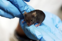 Chuột thí nghiệm - Câu chuyện ít người biết