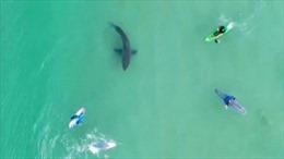 Cá mập trắng lởn vởn thăm dò người lướt sóng