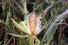 Hơn 16.000 ha ngô bị sâu keo mùa thu gây hại