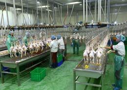 Gia cầm Việt Nam chinh phục các thị trường xuất khẩu 'khó tính'