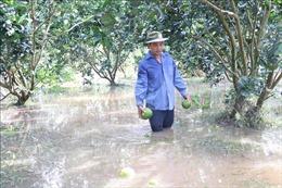'Giải cứu' cây ăn trái trong mùa mưa bão