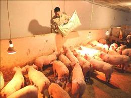 Hà Nội và thành phố Hồ Chí Minh thuộc nhóm chậm tái đàn lợn