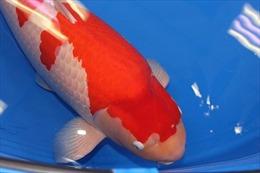 Địa phương Trung Quốc kiểm dịch nghiêm ngặt cá Koi nhập từ Nhật Bản