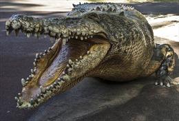 Ông bố mưu trí ngoạm chân cá sấu để cứu con trai
