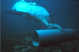 Điều gì khiếnHải quân Mỹ huấn luyện cá heo, hải cẩu làm 'quân nhân biển'?