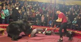 'Gấu điên' tấn công người quản thú, khán giả la hét hoảng sợ