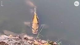 Sửng sốt cảnh cá 'mặt người' nổi trên hồ nước