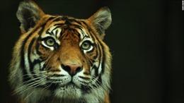 Phát hiện bốn bào thai hổ Sumatra quý hiếm ngâm trong lọ