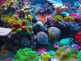 Hồi sinh san hô bằng âm thanh