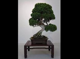 Báu vật bonsai 400 tuổi bị đánh cắp, chủ nhân dặn tên trộm nhớ tưới nước