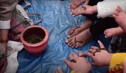 Cho đỉa hút máu để cầu sức khỏe trong Năm mới Navroz ở Kashmir