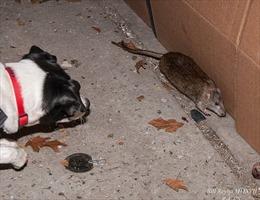 Biệt đội chó diệt chuột tại New York
