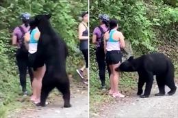 Thót tim gấu đen tiến sát, chồm lên người leo núi đánh hơi