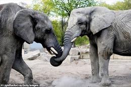 Vườn thú Ba Lan cho voi dùng cần sa y tế để giảm căng thẳng