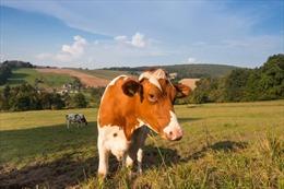 Nghiên cứu mới tại Đức: Bò cũng có thể mắc bệnh COVID-19