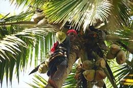Cuộc cách mạng ngành hái dừa tại Ấn Độ