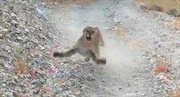 Báo sư tử rượt đuổi người đi bộ trên núi tại Mỹ
