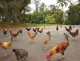 'Thiên đường du lịch' Hawaii biến thành nơi cư trú của hàng nghìn con gà rừng