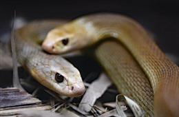 Người đàn ông Ấn Độ dành 72 giờ chung sống với 72 con rắn kịch độc