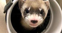Mỹ lần đầu nhân bản thành công chồn hương nguy cấp từ tế bào động vật đông lạnh