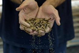 Biến sâu gạo trở thành 'siêu thực phẩm' cho con người