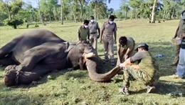 Ấn Độ xét nghiệm COVID-19 cho 28 con voi trong sở thú