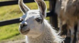 Kháng thể từ lạc đà có thể ngăn ngừa các biến thể virus SARS-CoV-2