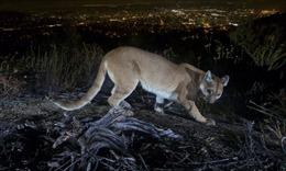 Người mẹ tay không chiến đấu với sư tử núi giải cứu con trai