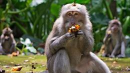 Không có du khách, bầy khỉ đói trên đảo Bali đột nhập vào nhà dân cướp thức ăn