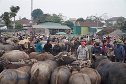 Nhộn nhịp chợ trâu, bò lớn nhất vùng Bắc Trung bộ