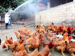 Tiêu hủy 1.500 con gà đã tiêm phòng bị nhiễm cúm A/H5N1