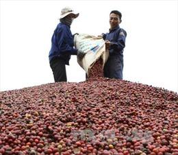 Vì sao giá cà phê giảm giá mạnh trong thời gian qua?
