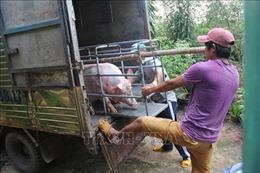 Kiểm soát chặt, hạn chế dịch tả lợn châu Phi lan rộng