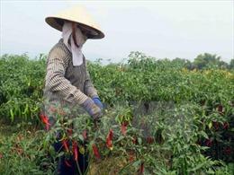 Malaysia tạm dừng nhập khẩu đối với ớt của Việt Nam