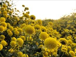 Mê mẩn hoa cúc tiến vua nhuộm vàng cánh đồng Hưng Yên những ngày sát Tết