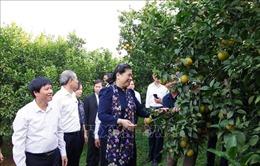 Phó Chủ tịch Quốc hội Tòng Thị Phóng thăm mô hình trồng cam tại Hòa Bình