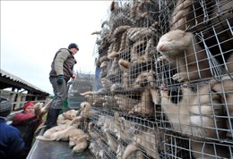 Hà Lan cấm vận chuyển chồn sau khi một số người nuôi mắc COVID-19