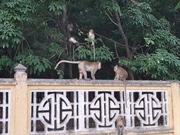 Chuẩn bị di dời khoảng 2/3 số lượng khỉ trong nội ô Tòa Thánh Cao Đài về rừng tự nhiên