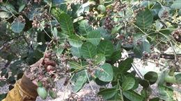Thời tiết bất thường đe dọa cây điều ở Bình Phước