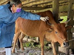 Xử lý dứt điểm bệnh viêm da nổi cục trên hàng trăm con trâu, bò