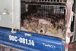 Phát hiện vụ vận chuyển 50 con giống nhiễm dịch tả lợn châu Phi đi tiêu thụ